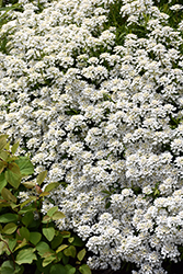 Candytuft (Iberis sempervirens) at Plants Unlimited