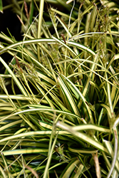 EverColor® Eversheen Japanese Sedge (Carex oshimensis 'Eversheen') at Plants Unlimited