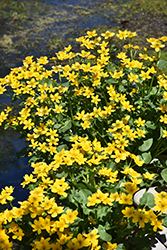Marsh Marigold (Caltha palustris) at Plants Unlimited