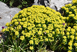 Cushion Spurge (Euphorbia polychroma) at Plants Unlimited