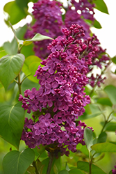 Congo Lilac (Syringa vulgaris 'Congo') at Plants Unlimited