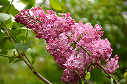 Maiden's Blush Lilac (Syringa x hyacinthiflora 'Maiden's Blush') at Plants Unlimited