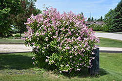 Minuet Lilac (Syringa x prestoniae 'Minuet') at Plants Unlimited
