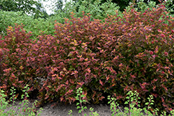 Amber Jubilee™ Ninebark (Physocarpus opulifolius 'Jefam') at Plants Unlimited