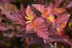 Center Glow Ninebark (Physocarpus opulifolius 'Center Glow') at Plants Unlimited