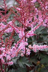 Delft Lace Astilbe (Astilbe 'Delft Lace') at Plants Unlimited