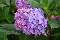 Bloomstruck® Hydrangea (Hydrangea macrophylla 'PIIHM-II') at Plants Unlimited