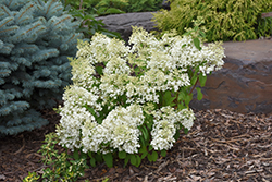 Bobo® Hydrangea (Hydrangea paniculata 'ILVOBO') at Plants Unlimited