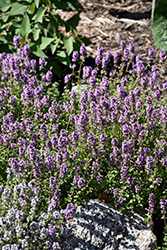 Oregano Thyme (Thymus vulgaris 'Oregano') at Plants Unlimited