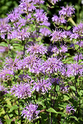 Blue Stocking Beebalm (Monarda didyma 'Blue Stocking') at Plants Unlimited