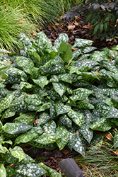 Sissinghurst White Lungwort (Pulmonaria 'Sissinghurst White') at Plants Unlimited