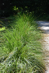 Autumn Moor Grass (Sesleria autumnalis) at Plants Unlimited
