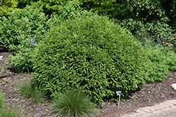 Green Gem Boxwood (Buxus 'Green Gem') at Plants Unlimited
