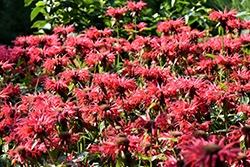 Gardenview Scarlet Beebalm (Monarda 'Gardenview Scarlet') at Plants Unlimited