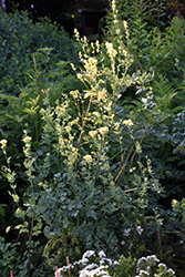 Common Meadow Rue (Thalictrum flavum) at Plants Unlimited