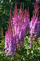 Superba Chinese Astilbe (Astilbe chinensis 'Superba') at Plants Unlimited
