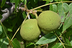 Black Walnut (Juglans nigra) at Plants Unlimited
