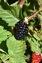 Chester Thornless Blackberry (Rubus 'Chester') at Plants Unlimited