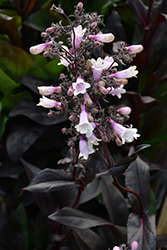 Dark Towers Beard Tongue (Penstemon 'Dark Towers') at Plants Unlimited