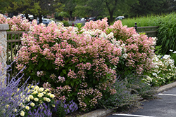 Quick Fire® Hydrangea (Hydrangea paniculata 'Bulk') at Plants Unlimited