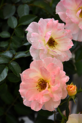 Oso Easy® Italian Ice® Rose (Rosa 'Chewnicebell') at Plants Unlimited