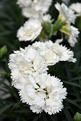Early Bird™ Frosty Pinks (Dianthus 'Wp10 Ven06') at Plants Unlimited