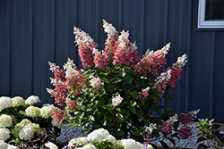 Pinky Winky® Hydrangea (Hydrangea paniculata 'DVPPINKY') at Plants Unlimited