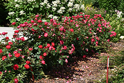 Oso Easy Double Red Rose (Rosa 'Meipeporia') at Plants Unlimited