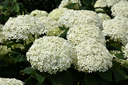 Invincibelle® Limetta Hydrangea (Hydrangea arborescens 'NCHA8') at Plants Unlimited