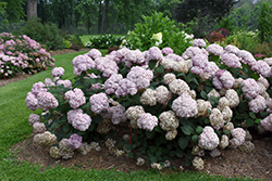Incrediball® Blush Smooth Hydrangea (Hydrangea arborescens 'NCHA4') at Plants Unlimited
