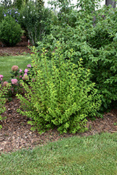 Tiny Wine® Gold Ninebark (Physocarpus opulifolius 'SMNPOTWG') at Plants Unlimited