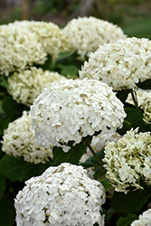 Invincibelle® Wee White Hydrangea (Hydrangea arborescens 'NCHA5') at Plants Unlimited