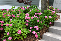 Let's Dance® Rhythmic Blue™ Hydrangea (Hydrangea macrophylla 'SMHMES14') at Plants Unlimited