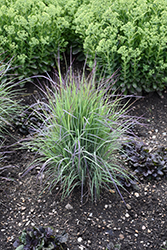 Twilight Zone Bluestem (Schizachyrium scoparium 'Twilight Zone') at Plants Unlimited