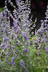 Blue Jean Baby Russian Sage (Perovskia atriplicifolia 'Blue Jean Baby') at Plants Unlimited
