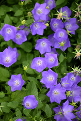 Blue Clips Bellflower (Campanula carpatica 'Blue Clips') at Plants Unlimited