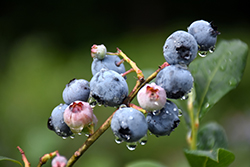 Blueray Blueberry (Vaccinium corymbosum 'Blueray') at Plants Unlimited