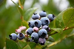 Patriot Blueberry (Vaccinium corymbosum 'Patriot') at Plants Unlimited