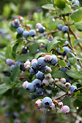 Blue Jay Blueberry (Vaccinium corymbosum 'Blue Jay') at Plants Unlimited