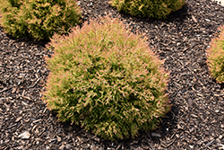 Fire Chief™ Arborvitae (Thuja occidentalis 'Congabe') at Plants Unlimited