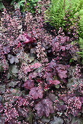 Carnival Candy Apple Coral Bells (Heuchera 'Candy Apple') at Plants Unlimited