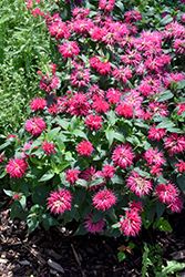 Balmy Rose Beebalm (Monarda didyma 'Balbalmose') at Plants Unlimited