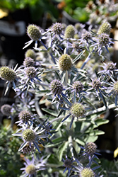 Blue Hobbit Sea Holly (Eryngium planum 'Blue Hobbit') at Plants Unlimited
