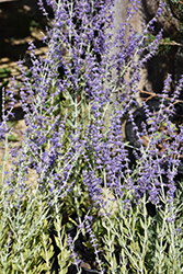 Little Spire Russian Sage (Perovskia 'Little Spire') at Plants Unlimited