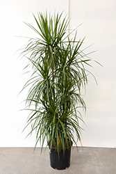 Red-edge Dracaena (Dracaena marginata) at Plants Unlimited