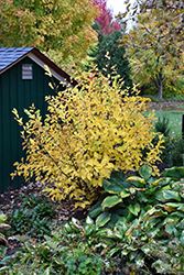 Vernal Witchhazel (Hamamelis vernalis) at Plants Unlimited