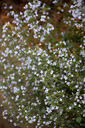 Dwarf Calamint (Calamintha nepeta) at Plants Unlimited