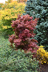 Twombly's Red Sentinel Japanese Maple (Acer palmatum 'Twombly's Red Sentinel') at Plants Unlimited