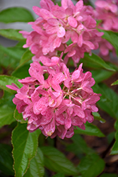 Zinfin Doll® Hydrangea (Hydrangea paniculata 'SMNHPRZEP') at Plants Unlimited