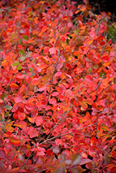 Gro-Low Fragrant Sumac (Rhus aromatica 'Gro-Low') at Plants Unlimited